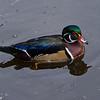 Canard branchu male, Wood duck, Aix sponsa<br /> 2393, Lac Boivin, Granby, Québec,été 2010