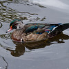 Jeune canard branchu male, Wood duck, Aix sponsa<br /> 2453, Lac Boivin, Granby, Québec, été 2010