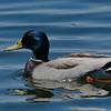 Canard colvert male, Mallard,  Anas platyrhynchos <br /> 2032, Baie-du-Febvre, Québec,mai 2010