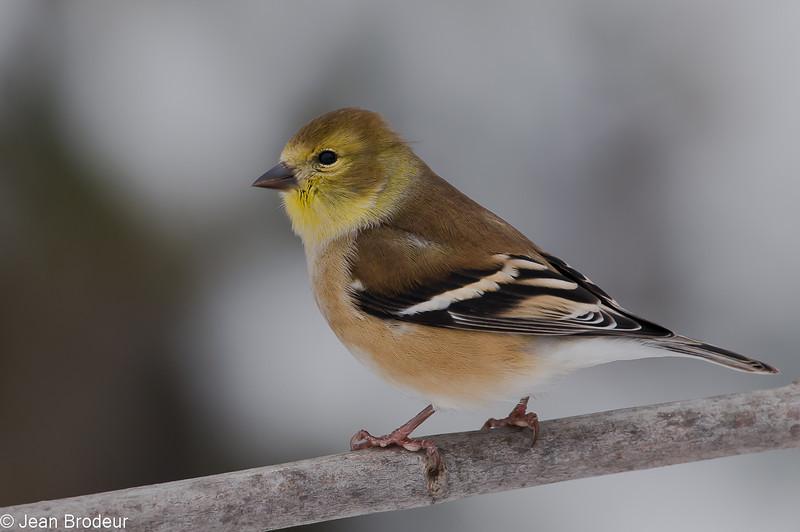 Chardonneret jaune femelle, American Goldfinch, Spinus Tristis<br /> St-Hugues, Québec, 2009