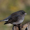 Junco ardoisé male, Dark-eyed junco, Junco hyemalis<br /> 8157, St-Hugues,Québec,2009