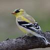 Chardonneret jaune femelle, American Goldfinch, Spinus Tristis<br /> 4614, St-Hugues, Québec, 25 avril 2011