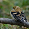 Chardonneret jaune femelle, American Goldfinch, Spinus Tristis, Fringillidae, Passeriformes<br /> 7667, St-Hugues, Québec, 2009