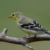 Chardonneret jaune, American Goldfinch, Spinus Tristis<br /> 4035, St-Hugues, Québec, 2010