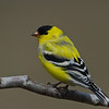 Chardonneret jaune male, American Goldfinch, Spinus Tristis, Fringillidae, Passeriformes<br /> 1415, St-Hugues, Québec, 2010