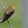 Chardonneret jaune femelle, American Goldfinch, Spinus Tristis<br /> 2925, St-Hugues, Québec, 2009