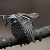 Chardonneret jaune, American Goldfinch, Spinus Tristis<br /> 3833, St-Hugues, Québec, 16 avril 2011