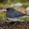 Junco ardoisé male, Dark-eyed junco, Junco hyemalis<br /> 7859, St-Hugues,Québec,2009