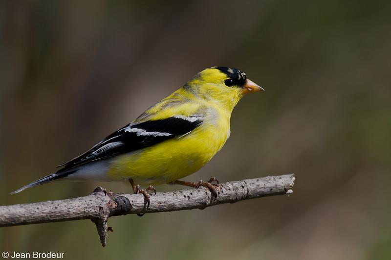 Chardonneret jaune male, American Goldfinch, Spinus Tristis<br /> 176, St-Hugues, Québec, 2009