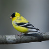 Chardonneret jaune, American Goldfinch, Spinus Tristis<br /> 2627, St-Hugues, Québec, 2010