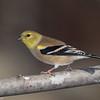 Chardonneret jaune en automne, American Goldfinch, Spinus Tristis<br /> 1420, St-Hugues, Quebec 12 novembre 2012