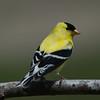 Chardonneret jaune, American Goldfinch, Spinus Tristis<br /> 4435, St-Hugues, Québec, 2010