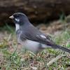 Junco ardoisé male leucique, Dark-eyed junco, Junco hyemalis, Emberizidae, Passeriformes <br /> 4847, St-Hugues,Québec, 29 avril 2011