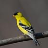 Chardonneret jaune male, American Goldfinch, Spinus Tristis, Fringillidae, Passeriformes<br /> 5572, St-Hugues, Québec, 2 mai 2011