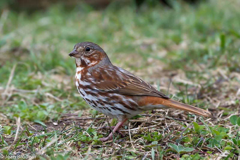 Bruant fauve,  Red Fox sparrow, Passerella iliaca, Emberizidés.<br /> 4943, St-Hugues, Quebec, 29 avril 2011