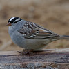 Bruant a couronne blanche, White-crowned sparrow, Zonotrichia leucophrys, Emberizidae, Passeriformes<br /> 4288, St-Hugues, Québec, 2010