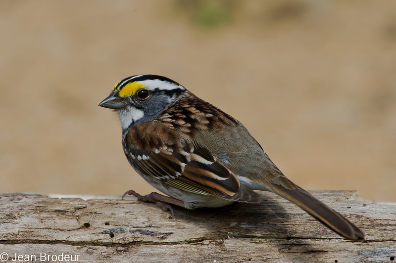 Bruant a gorge blanche, White-throated sparrow, Zonotrichia albicollis<br /> 1987, St-Hugues, Québec, 2010