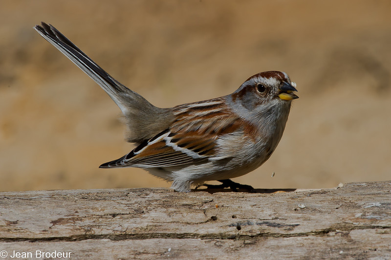 Bruant hudsonier, American tree sparrow, Spizella arborea ,Emberizidae<br /> 2533, St-Hugues, Québec, 2010