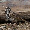 Bruant chanteur, Song sparrow, Melospiza melodia<br /> 3387, St-Hugues, Québec, 12 avril 2011