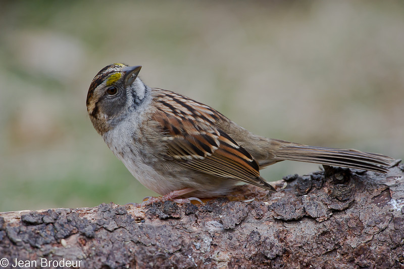 Bruant a gorge blanche forme sombre, White-throated sparrow, Zonotrichia albicollis<br /> 1136, St-Hugues, Québec, 2010
