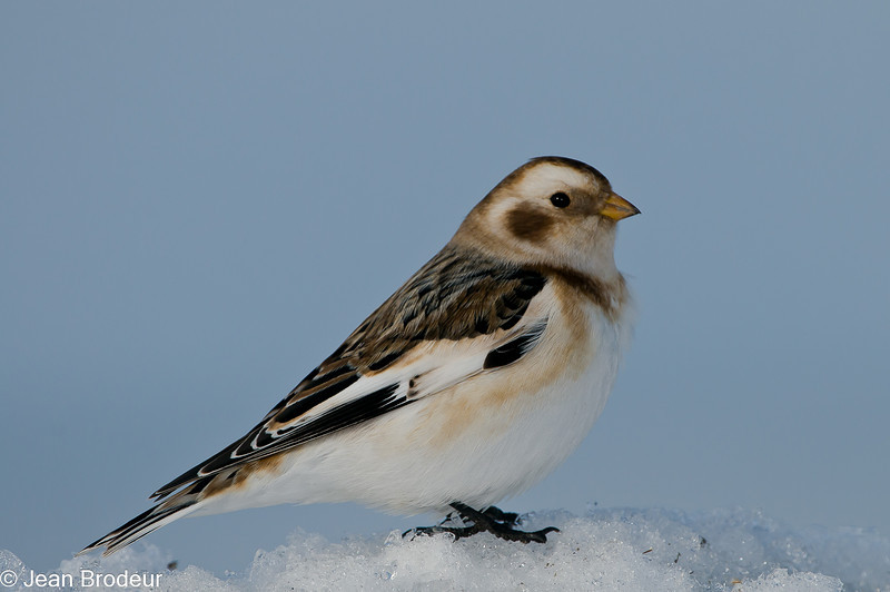 Bruant des neiges, Snow bunting, Plectrophenax nivalis, Emberizidae<br /> 0903, Ste-Rosalie, Québec, 2010