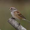 Bruant hudsonier, American tree sparrow, Spizella arborea ,Emberizidae<br /> 1178, St-Hugues, Quebec  29 octobre 2012