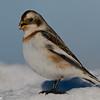 Bruant des neiges femelle, Snow bunting, Plectrophenax nivalis<br /> 0975, Ste-Rosalie, Québec, 2010