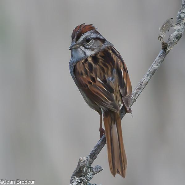 Bruant des marais, Swamp Sparrow, Melospiza georgiana<br /> 0282,Parc Nature du Bois-de-l'Île-Bizard Montreal, Quebec, 25 mai 2011