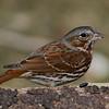 Bruant fauve, Fox sparrow, Passerella iliaca, Emberizidés.<br /> 1109, St-Hugues, Quebec, 2010