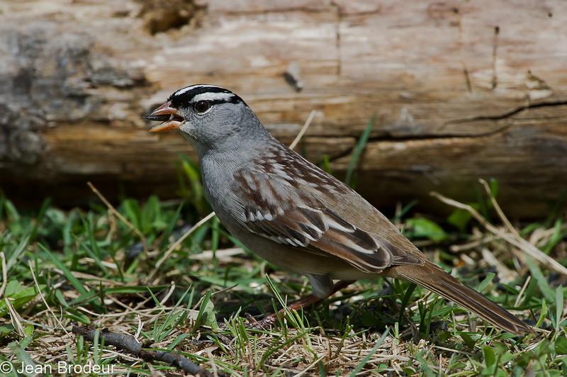 Bruant a couronne blanche, White-crowned sparrow, Zonotrichia leucophrys<br /> 3991, St-Hugues, Québec, 2010