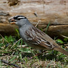 Bruant a couronne blanche, White-crowned sparrow, Zonotrichia leucophrys<br /> 3991, St-Hugues, Québec, 2010