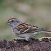 Bruant hudsonier, American tree sparrow , Spizella arborea ,Emberizidae<br /> 1117, St-Hugues, Québec, 2010