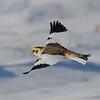 Plectrophane des neiges male ,Snow bunting, Plectrophenax nivalis, Emberizidae<br /> 0085, Ste-Rosalie, Québec, 3 decembre 2010