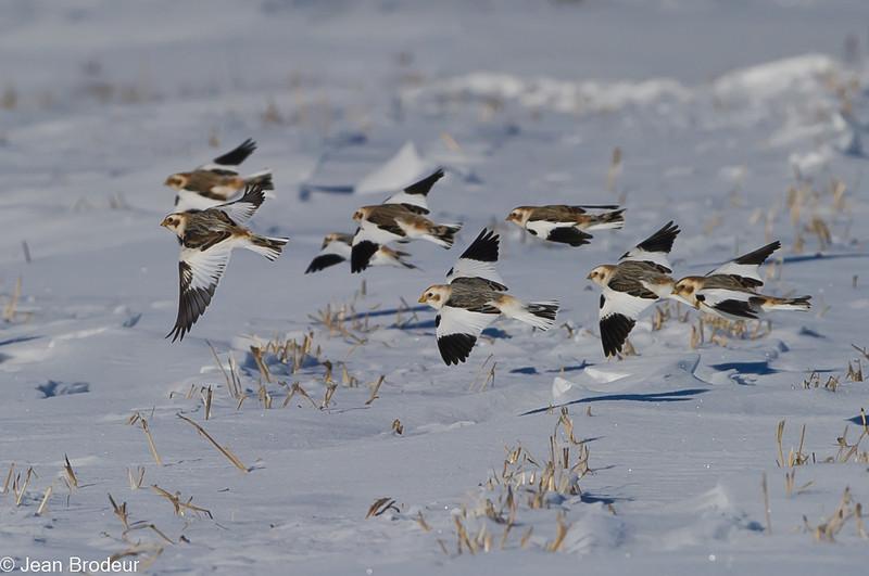 Plectrophane des neiges ,Snow bunting, Plectrophenax nivalis, Emberizidae<br /> 9989, Ste-Rosalie, Québec, 3 decembre 2010
