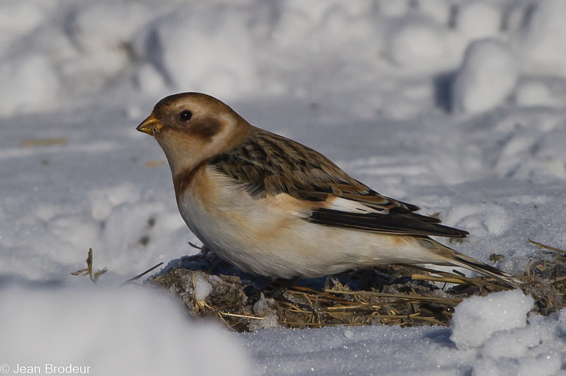Plectrophane des neiges femelle ,Snow bunting, Plectrophenax nivalis<br /> 9975, Ste-Rosalie, Québec, 3 decembre 2010