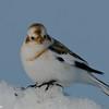 Bruant des neiges male, Snow bunting, Plectrophenax nivalis<br /> 0908, Ste-Rosalie, Québec, 2010