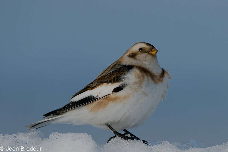 Bruant des neiges femelle, Snow bunting, Plectrophenax nivalis<br /> 0920, Ste-Rosalie, Québec, 2010