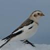 Bruant des neiges male, Plectrophane des neiges, Snow bunting, Plectrophenax nivalis<br /> 0872, Ste-Rosalie, Québec, 2010