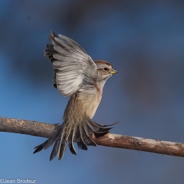 Bruant hudsonier, American tree sparrow , Spizella arborea ,Emberizidae<br /> 1099, St-Hugues, Quebec, 23 octobre 2012