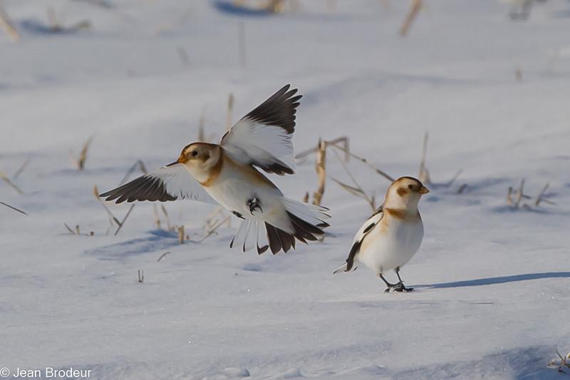 Plectrophane des neiges ,Snow bunting, Plectrophenax nivalis, Emberizidae<br /> 0077, Ste-Rosalie, Québec, 3 decembre 2010