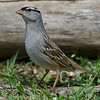 Bruant a couronne blanche, White-crowned sparrow, Zonotrichia leucophrys<br /> 3706, St-Hugues, Québec, 2010