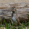 Bruant chanteur, Song sparrow, Melospiza melodia<br /> 2487, St-Hugues, Québec, 2010