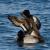 Petit Fuligule male, Lesser scaup, Aythya affinis<br /> 7452, Chambly, Québec, 29 novembre 2010