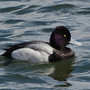Petit Fuligule male, Lesser scaup, Aythya affinis<br /> 0919, Chambly, 30 mars 2011