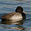 Petit Fuligule male, Lesser scaup, Aythya affinis<br /> 7647, Chambly, Québec, 29 novembre 2010