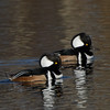 Harle couronné male, Hooded merganser, Lophodytes cucullatus, Anatidae<br /> 6040, Parc du Mont St-Bruno, Québec,<br /> 14 novembre 2010
