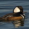 Harle couronné male, Hooded merganser, Lophodytes cucullatus<br /> 8023, Chambly, Québec, 29 novembre 2010
