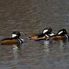 Harle couronné male, Hooded merganser, Lophodytes cucullatus<br /> 6283, Parc du Mont St-Bruno, Québec,<br /> 14 novembre 2010