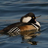Harle couronné male, Hooded merganser, Lophodytes cucullatus<br /> 8076, Chambly, Québec, 29 novembre 2010