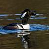 Harle couronné male, Hooded merganser, Lophodytes cucullatus<br /> 6860, Parc du Mont St-Bruno, Québec,<br /> 14 novembre 2010